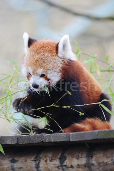 Kırmızı panda yeme yaprakları Stok fotoğraf © KMWPhotography