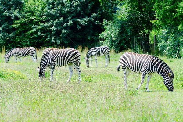 зебры природы Африка черный шаблон Сток-фото © KMWPhotography
