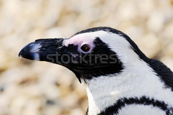 Pingvin közelkép profil napsütés vicces állat Stock fotó © KMWPhotography