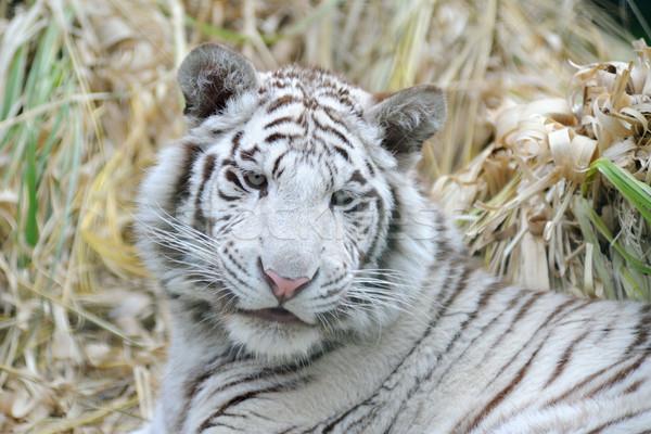 Witte tijger jonge pluizig wangen Stockfoto © KMWPhotography