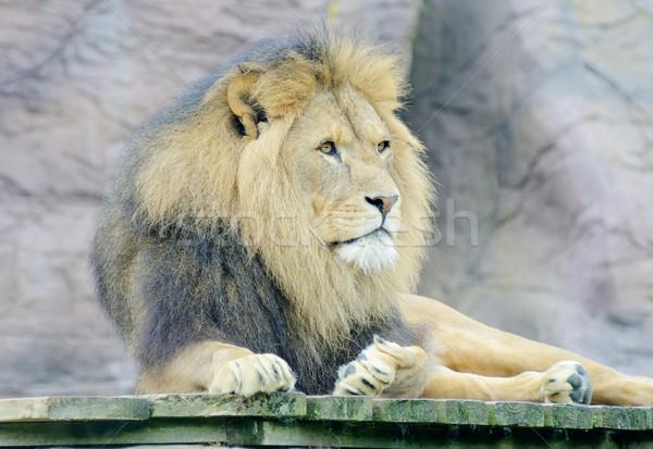Löwen männlich allein wachsam Benachrichtigung Afrika Stock foto © KMWPhotography