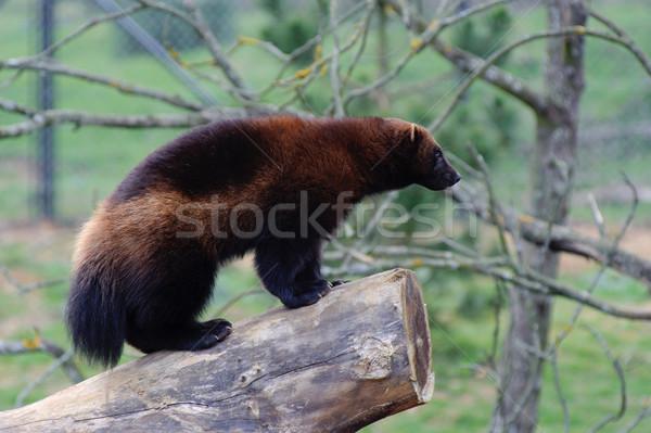 áll zöld állat vad agresszív fajok Stock fotó © KMWPhotography