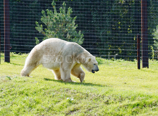 Urso polar caminhada cativeiro grama animal ensolarado Foto stock © KMWPhotography