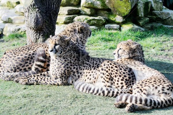 Három megnyugtató napsütés macska portré állatok Stock fotó © KMWPhotography