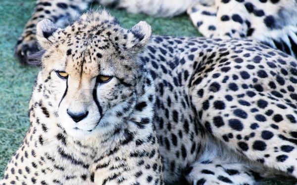 Gepárd pihen fektet fű állat afrikai Stock fotó © KMWPhotography