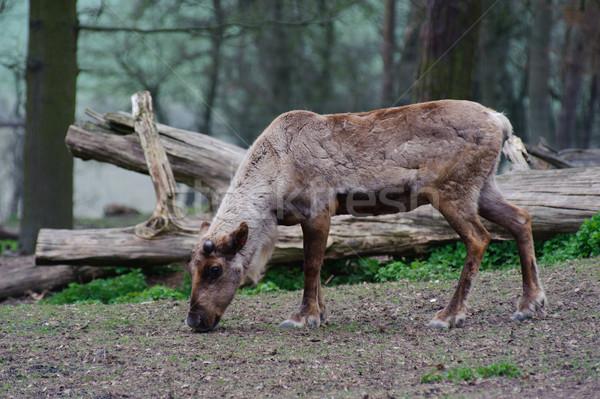 Rénszarvas eszik fák szarvas állat Stock fotó © KMWPhotography