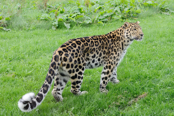 Leopard Walking Stock photo © KMWPhotography