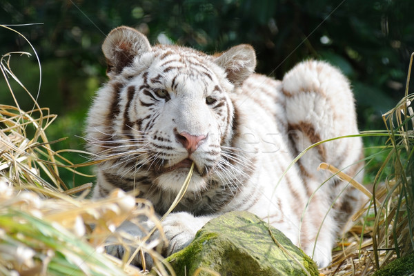 White tiger in sunlight Stock photo © KMWPhotography