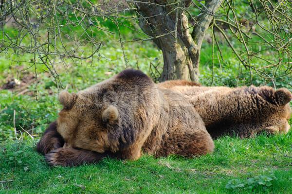 Beren slapen twee bruin boom hout Stockfoto © KMWPhotography