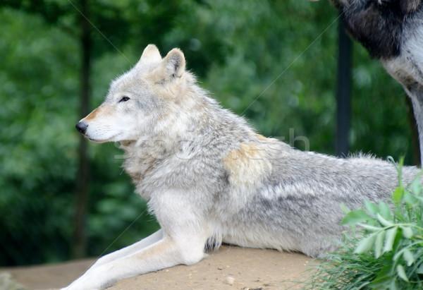Kurt bakıyor profil köpek hayvan Stok fotoğraf © KMWPhotography
