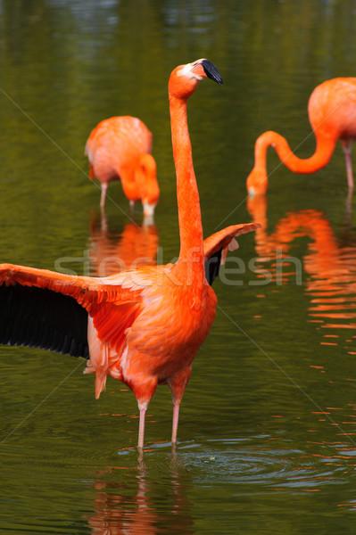 Flamingó szárnyak tó víz Stock fotó © KMWPhotography