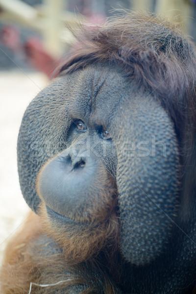 Orangutan kafa yüz bakıyor mutlu Stok fotoğraf © KMWPhotography