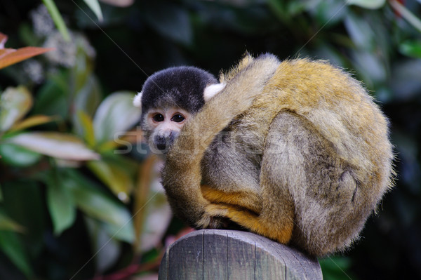 Mókus majom vár néz Stock fotó © KMWPhotography