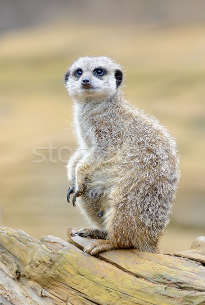 Meerkat alert Stock photo © KMWPhotography