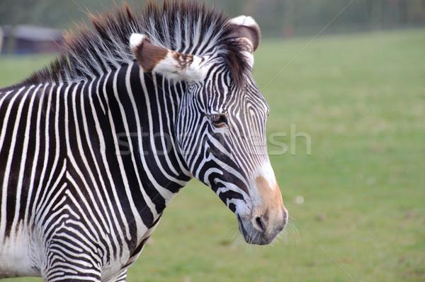 зебры трава Сток-фото © KMWPhotography