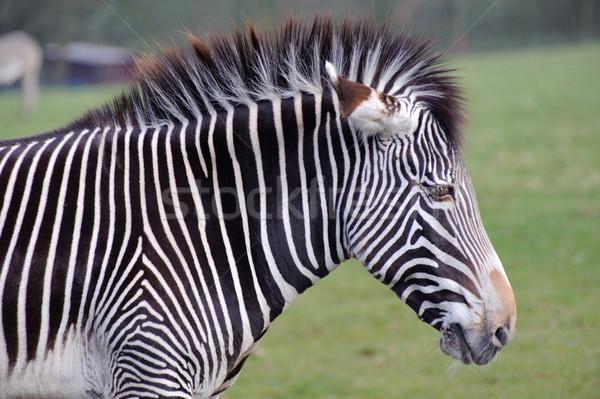 Zebra fej közelkép elmosódott Stock fotó © KMWPhotography