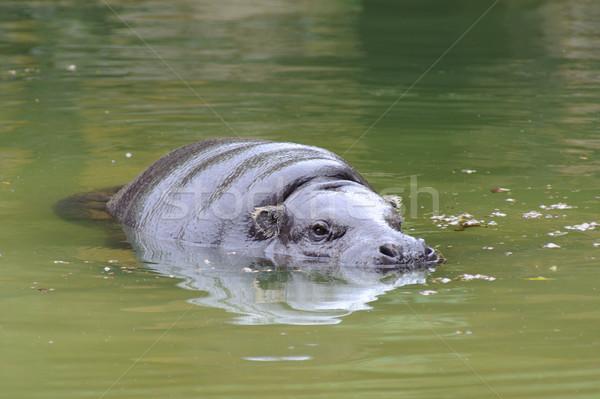 Pygmy hippo swimming Stock photo © KMWPhotography