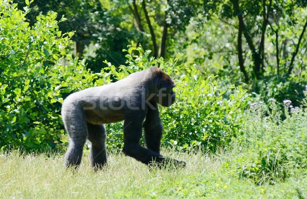 Goril tek başına genç parlak güneş Stok fotoğraf © KMWPhotography