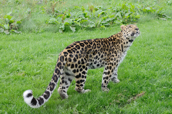 Leopard puissant grand chat Photo stock © KMWPhotography