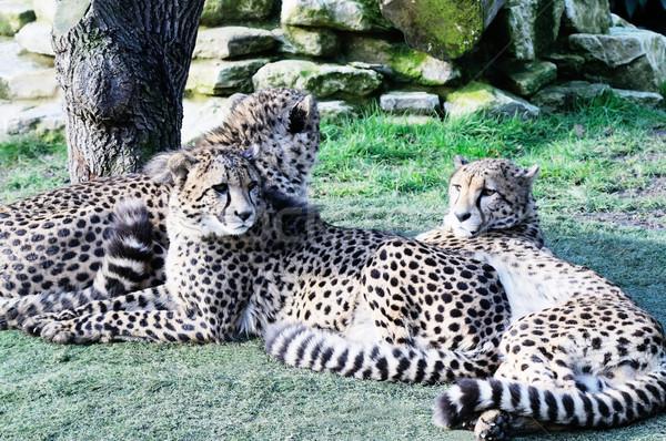 Trois guépard détendre soleil ensemble Photo stock © KMWPhotography