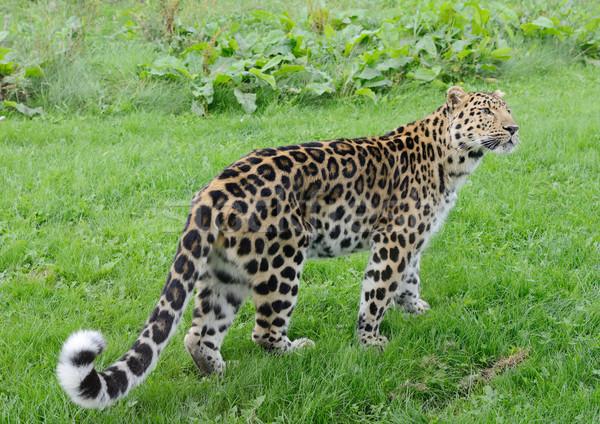 Leopar tam uzunlukta bakıyor uyarmak güçlü açık Stok fotoğraf © KMWPhotography