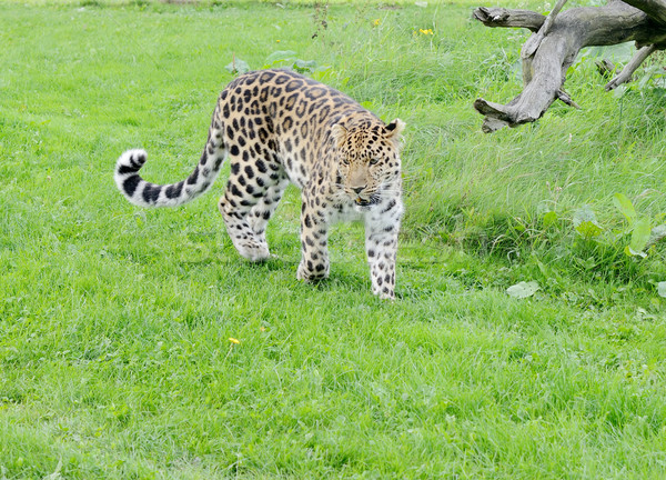 Leopardo inquieto caminhada grama natureza animal Foto stock © KMWPhotography