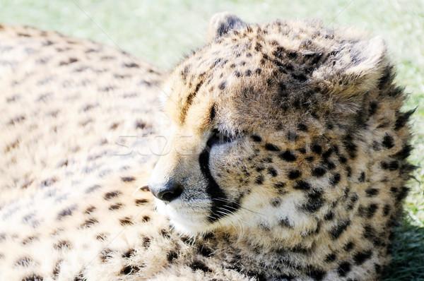 Cheetah in sunshine Stock photo © KMWPhotography