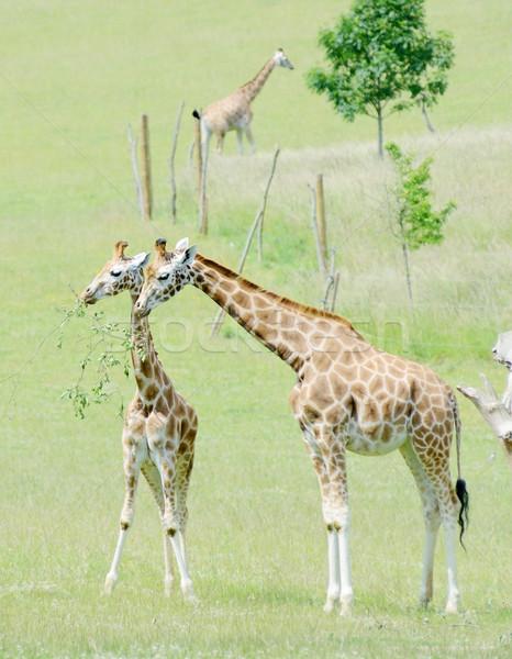 Zürafa anne bebek yaprakları şube Stok fotoğraf © KMWPhotography