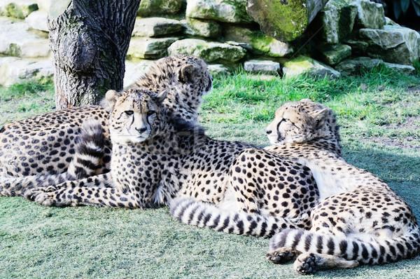 Soleil guépard trois nature chat Photo stock © KMWPhotography
