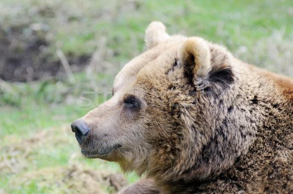 Bruine beer profiel wildernis natuur hoofd Stockfoto © KMWPhotography