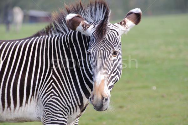 зебры глядя назад трава Сток-фото © KMWPhotography