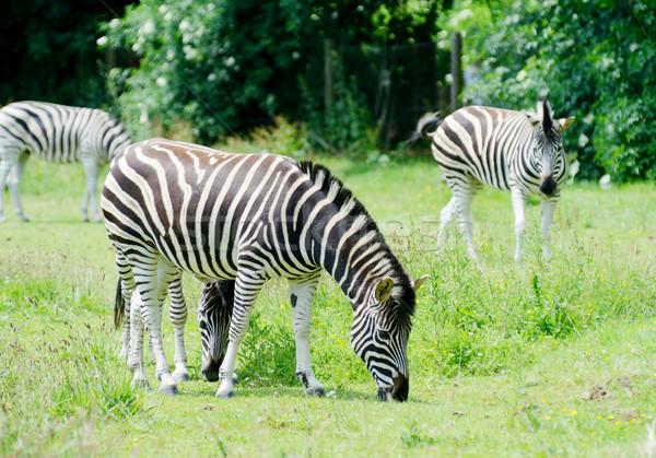 Zebra yeme aç çim model Stok fotoğraf © KMWPhotography