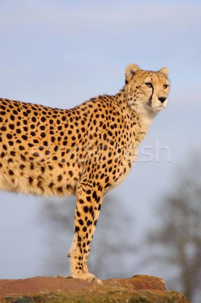 гепард смотрят Постоянный рок шаблон африканских Сток-фото © KMWPhotography