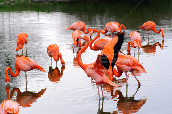 Flamingos feeding and flapping Stock photo © KMWPhotography