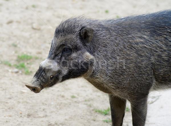 Visayan warty pig Stock photo © KMWPhotography
