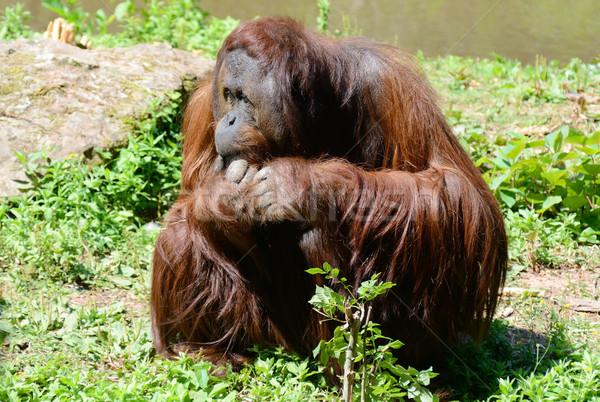 Orang-oetan vergadering mannelijke zonneschijn lang Stockfoto © KMWPhotography