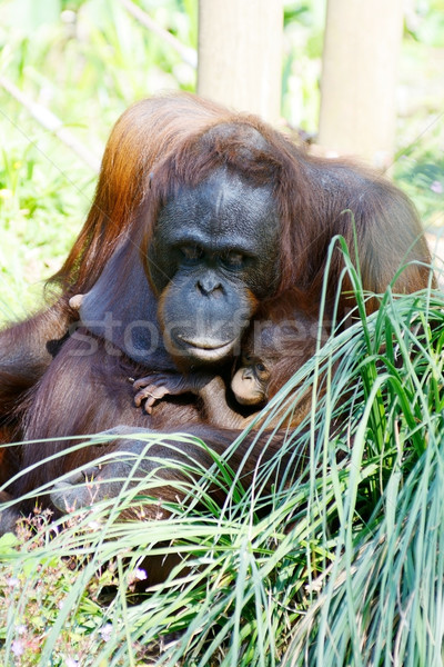 Orangutan mother and baby Stock photo © KMWPhotography