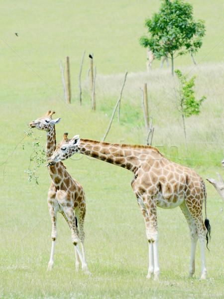 жираф семьи матери ребенка Африка Сток-фото © KMWPhotography