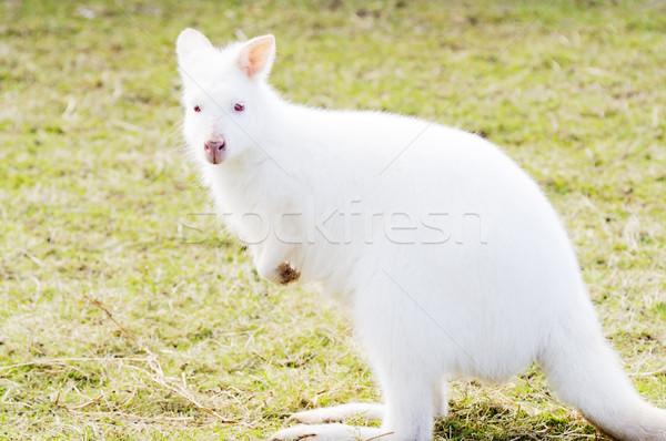 Albino profil beyaz kırmızı gözler Stok fotoğraf © KMWPhotography