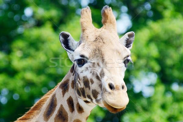 Zsiráf közelkép fej mutat agancs minta Stock fotó © KMWPhotography