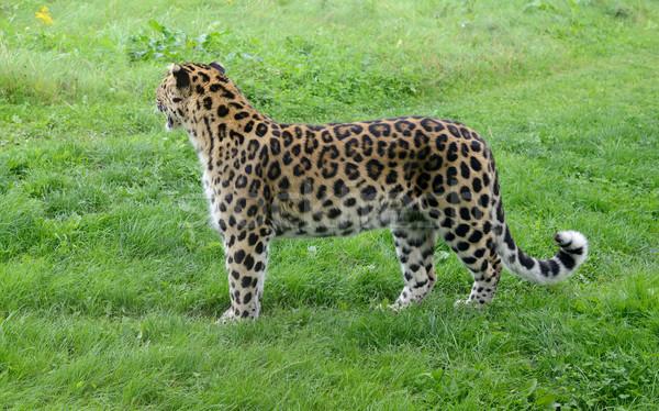 Leopárd foltok másfelé néz teljes alakos mutat szőr Stock fotó © KMWPhotography