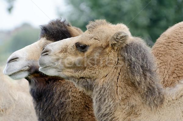 верблюда профиль глядя Сток-фото © KMWPhotography