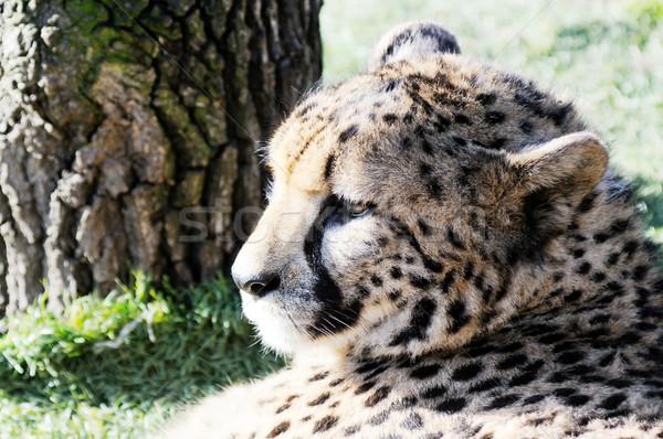 çita kafa profil yüz Stok fotoğraf © KMWPhotography