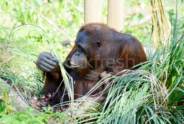 Orangutan mother sitting Stock photo © KMWPhotography