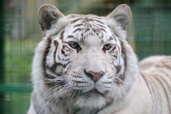 Stock photo: White tiger blue eyes