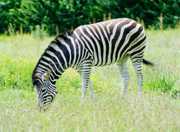 Zebra uzun çim Afrika Stok fotoğraf © KMWPhotography