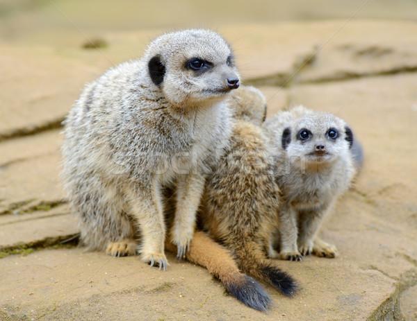 Meerkat family Stock photo © KMWPhotography