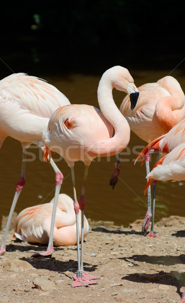 Flamingo Standing Stock photo © KMWPhotography
