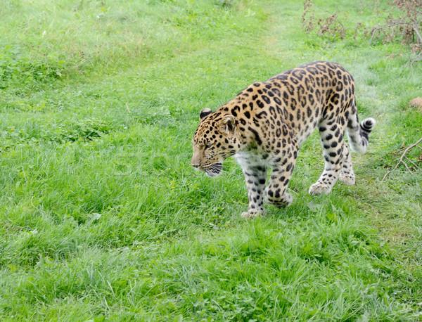 Leopárd éber nagymacska sétál néz erőteljes Stock fotó © KMWPhotography