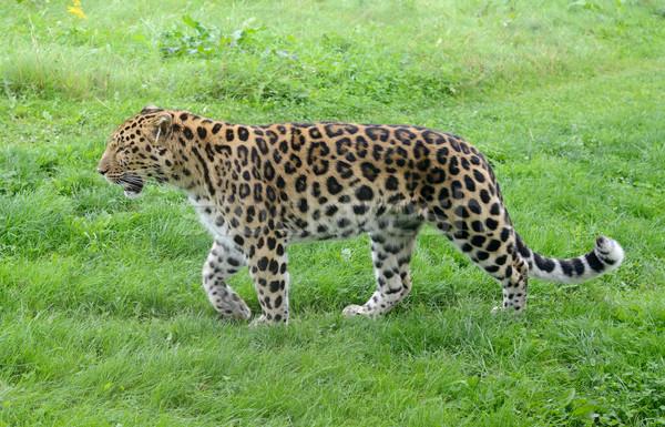 Leopárd vad teljes alakos sétál profil természet Stock fotó © KMWPhotography